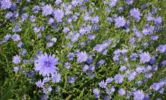 Польза и вред цикория - ароматного растения с голубыми цветками
