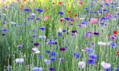 Цветки синего василька в народной медицине