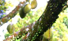 Дуриан: фрукт с «адским запахом и божественным вкусом»