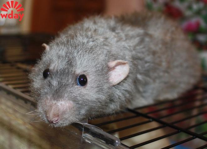 Выставка декоративных крыс Казань