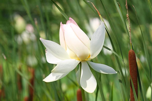 места, где растут лотосы, цветы лотоса