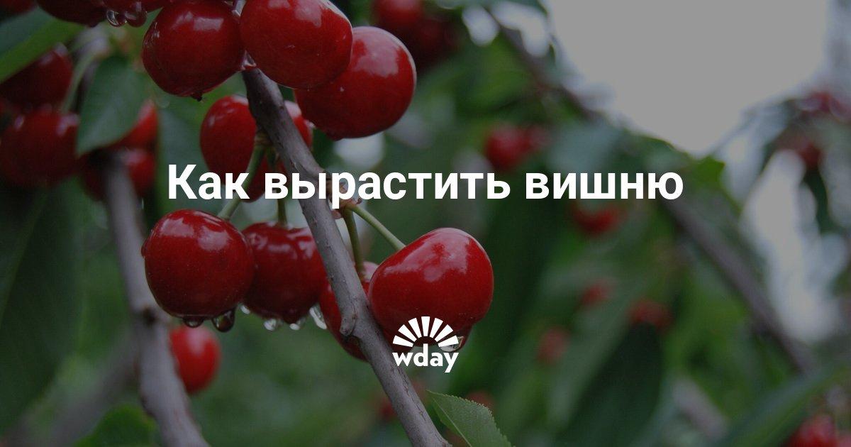 Бизнес по выращиванию вишни 61