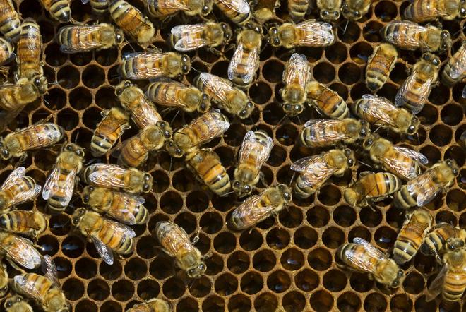 перга пчелиная полезные свойства