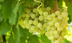 Виноград спасет от солнечных ожогов