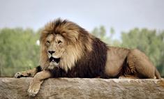 животных убить льва