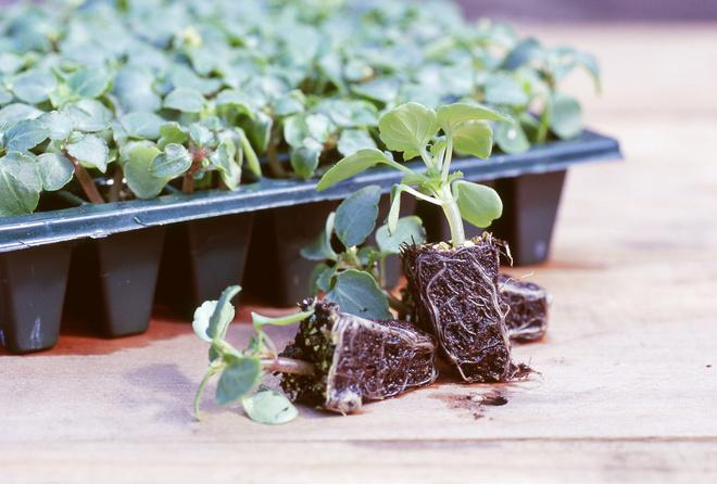 бальзамин выращивание