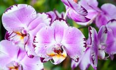 Орхидея комнатная: как ухаживать