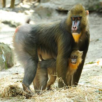 Гертруда - детеныш самки мадрила. Малышка растет в зоопарке Бронкса (Нью-Йорк). Первые месяцы ее совсем не показывали посетителям, чтобы не травмировать неустойчивую психику. Однако сейчас Гертруда - главная любовь приезжающих в Нью-Йорк туристов.