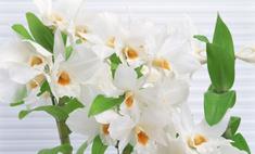 Дендробиум: правила ухода за орхидеей