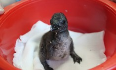 В «Роевом ручье» вылупился маленький пингвиненок [видео]