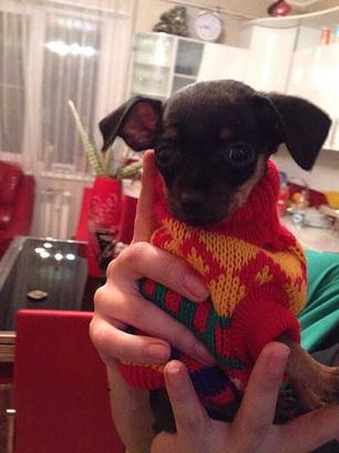 Тойтерьер, стильные наряды для маленьких собак