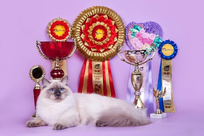 модные породы кошек, невская маскарадная