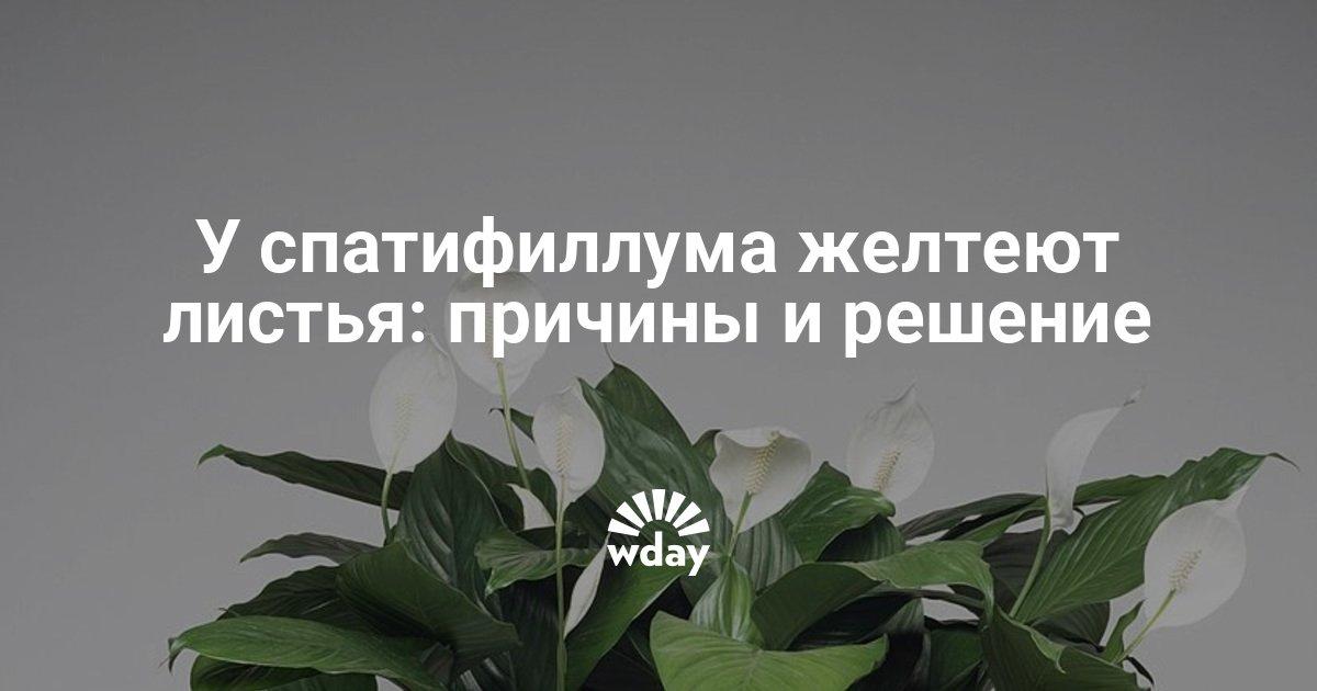 Женское счастье цветок почему желтеют листья