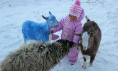 В зоопарке Владивостока появились синие козы