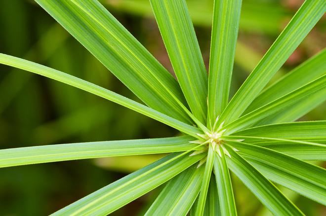 Болотные растения, такие как циперус, по своей природе испаряют много влаги, а значит – увеличивают влажность воздуха и улучшают микроклимат.