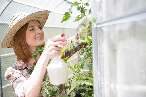 как разводить медный купорос для помидоров