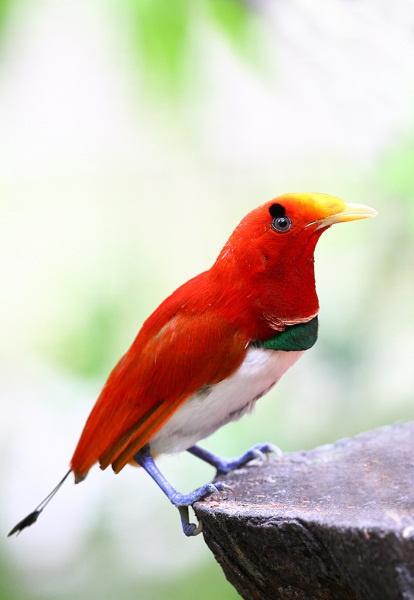 Райская птичкаа