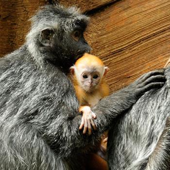Несколько недель назад у мартышки-лангера по имени Руби появился малыш, которого она так тщательно оберегает, что работники зоопарка в Бронксе до сих пор не могут узнать, какой у малыша пол. Впрочем, скоро неизвестность исчезнет, как и золотой мех: через пару месяцев детеныш должен стать таким же серым как мама.