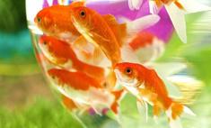 В Москве от жары гибнут аквариумные рыбки