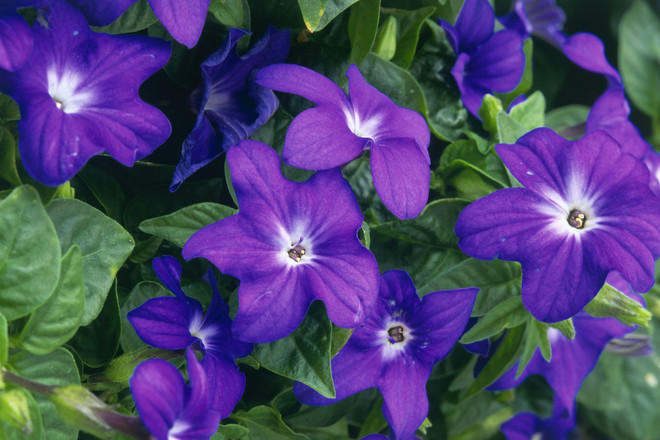 Броваллия имеет ярко-фиолетовые цветки