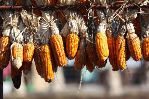 как сушить кукурузу в домашних условиях