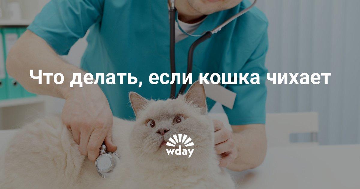 Почему кошка чихает часто чем лечить