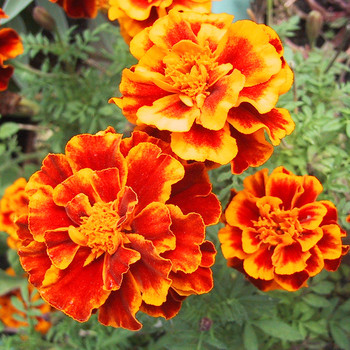 Быстрорастущие цветы