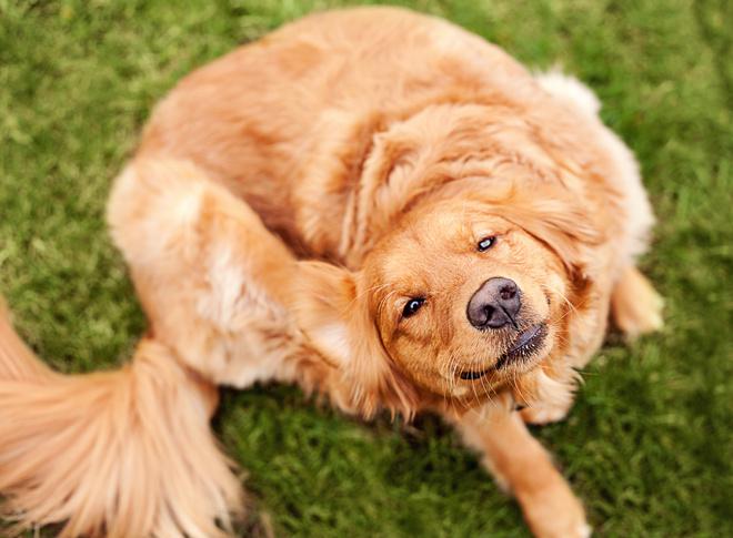 избавить собаку от блох в домашних условиях