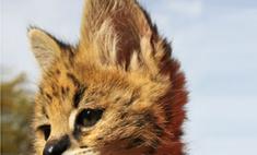 Кошка стала приемной мамой для хищника сервала