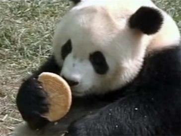 курьезы, панда, BBC, скандал