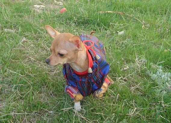 Чихаухуа, модная одежда для собак
