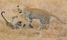 Милота дня: мама леопарда наказала детеныша