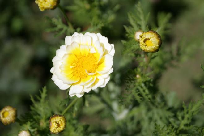 Съедобная хризантема шису