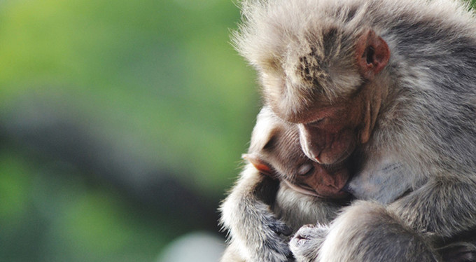 Приматы остро чувстуют справедливость