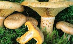 Несколько рецептов приготовления грибов млечников