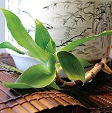 Золотой ус растение
