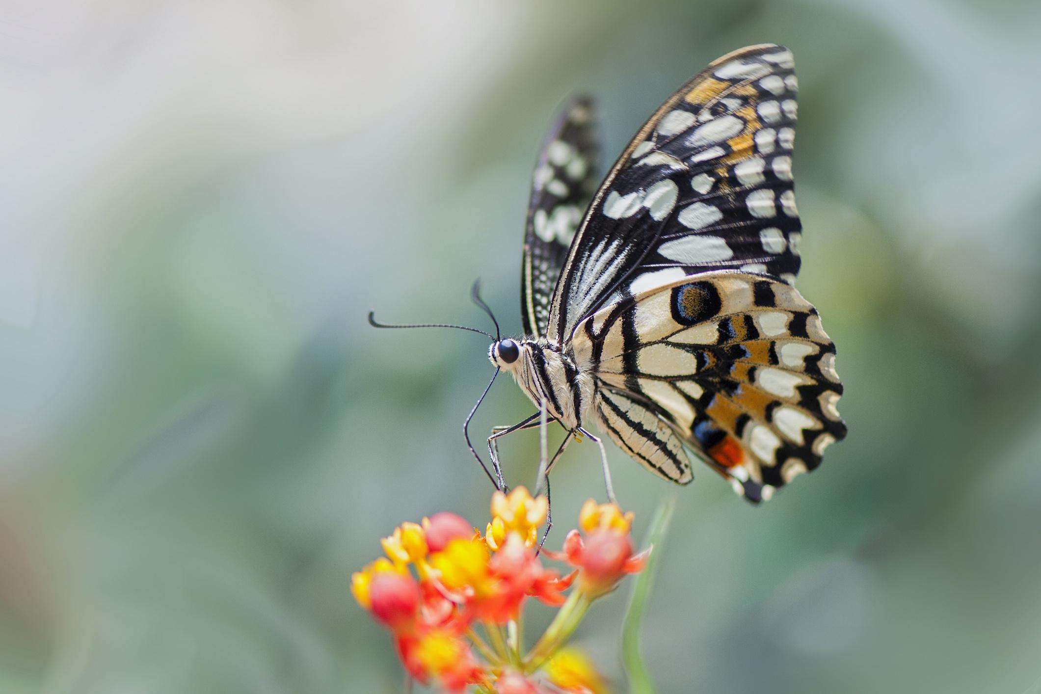 Видеть во сне бабочек цветных красивых много