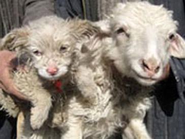 Собака и овца