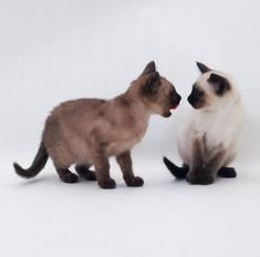 Как найти подход к кошке породы священная бирма, зная её характер и манеры