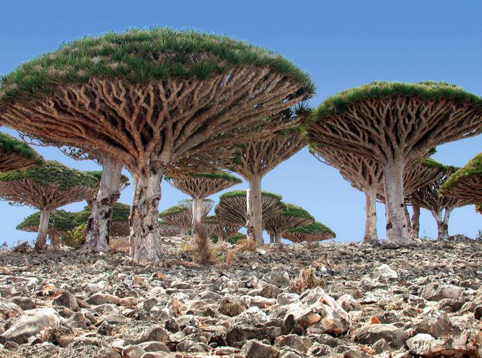 Драконовые деревья, Архипелаг Сокотра, Йемен