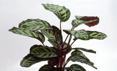 Как вырастить домашний цветок калатея?