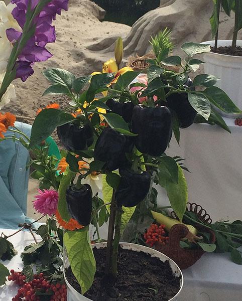 Необычный черный перец