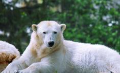 В Берлине умер знаменитый медведь Кнут