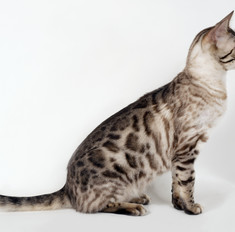 Особенности внешности и характера кошки серенгети