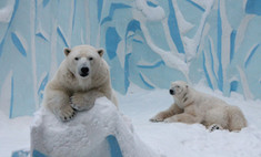 Дважды родители: новый малыш белых медведей Кая и Герды