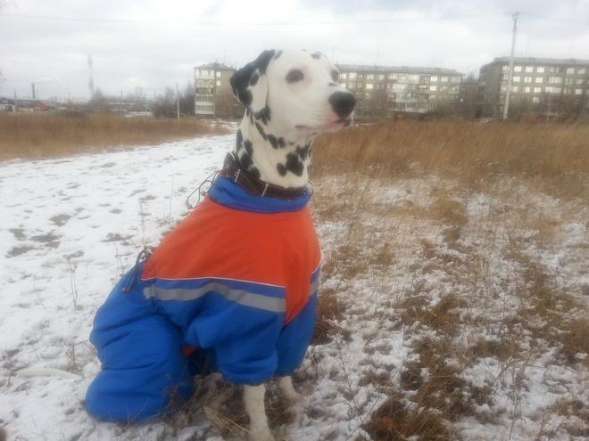 собака породы долматин
