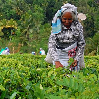 Четверть населения планеты пьет чай с острова Шри-Ланка.