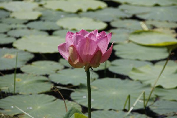 В буддизме лотос – символ чистоты