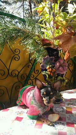 Мини тойтерьер, модная одежда для собак
