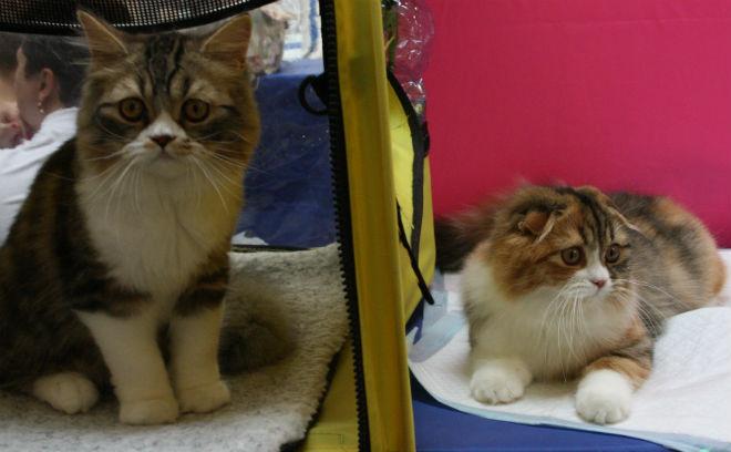 Выставка кошек Зоомагия 2015» Омск, Скоттиш фолды (шотландская вислоухая)